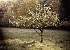 Apple Tree Fine Art Photography Tuscan Style Home by MollysMuses