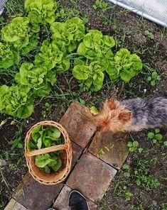 salad and dog and green and slow living and farm living and cottage Farms Living, Slow Living, Spring Garden, Cottage, Salad, Dog, Green, Plants, Diy Dog