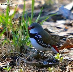 Diamond Firetail - Paradise of birds endemic to Australia