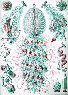 Siphonophorae by Ernst Haeckel. ~via Animals About dot com