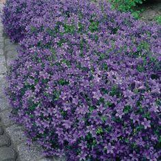 Teppich-Glockenblume (Campanula portenschlagiana)