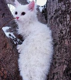 Curly Hair Kitty: The LaPerm