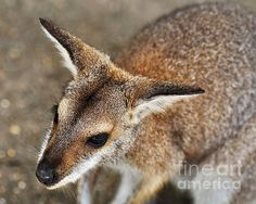 #WALLABY #PORTRAIT  #Kangaroo #Photography Quality Prints and Cards at:  http://kaye-menner.artistwebsites.com/featured/wallaby-portrait-kaye-menner.html  -