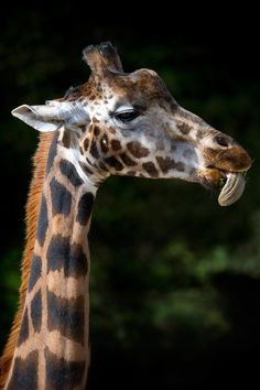 Giraffe feeding by Matt Mallett on 500px
