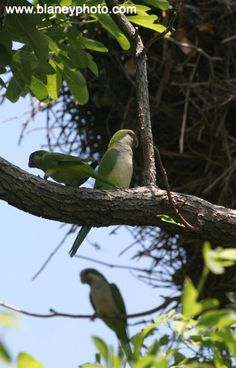 Wild Quaker Parrots of Edgewater, New Jersey: