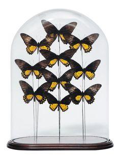 Composition de dix papillons aux ailes jaunes sous un globe H_55 cm