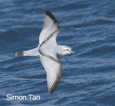 Fulmar Prion	(Pachyptila crassirostris)