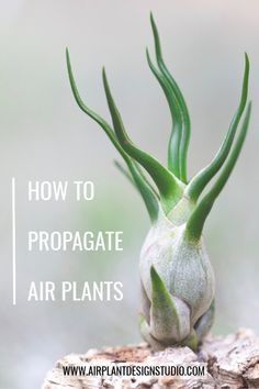 One of the most fascinating things about air plants is that after they bloom, they start to grow pups/offsets. You know, air plant babies! Learn about the propagation process and how to promote pup fo Types Of Air Plants, Air Plants Care, Cool Plants, Plant Care, Mint Plants, Succulent Plants, Succulents, Plant Of Life, Plant Wall Decor