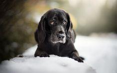 Télécharger fonds d'écran noir-labrador, retriever, noir chiot, race de chien, animaux, hiver, neige #labrador