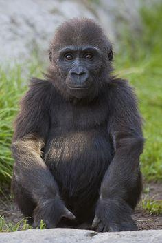 Baby gorilla | Flickr - Photo Sharing!