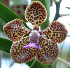 Vanda Cindy Banks 'Hilltop' Vanda Orchids, Orchid Flowers, Ways To Show Love, All Plants, Botany, Banks, Photo Galleries, Exotic, Paradise