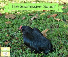 """A sign your pullet will soon start laying eggs:  the """"submissive squat"""""""