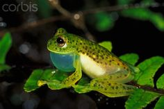 Glass Frog calling with its throat pouch extended while perched on a fern