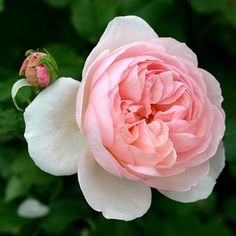 Englische Rose Heritage