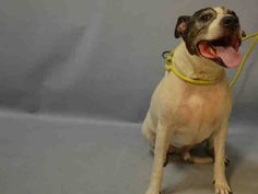 A1088484_BULLET NEUTERED MALE, WHITE / BLACK, AM PIT BULL TER MIX, 8 yrs OWNER SUR – EVALUATE, NO HOLD Reason MOVE2PRIVA Intake condition EXAM REQ Intake Date 09/03/2016, From NY 11427, DueOut Date 09/03/2016,