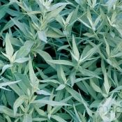 Armoise silver queen : godet (201891) Decoration Plante, Terrace Garden, Plantation, Plants, Queen, Perennial Plant, Artificial Flowers And Plants, Trees And Shrubs, Planting Flowers