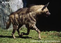 The Striped Hyena (Hyaena hyaena) is native to North and East Africa, the Caucasus, the Middle East, Middle and Central Asia and the Indian Subcontinent. They inhabit dry areas, from savanna to true desert. (12 photos & 2 videos)