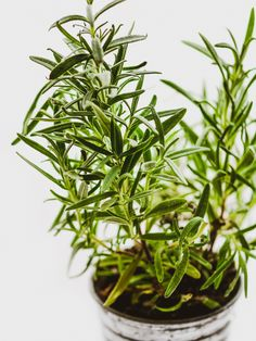 Herbal Gardening Ideas Growing Rosemary Indoors In The Winter - Growing herbs indoors in the winter is a fun way to bring a little summer inside to flavour your recipes and save money too. Try these 5 easy to grow herbs! Rosemary Plant Care, Rosemary Herb, Easy Herbs To Grow, Types Of Christmas Trees, Growing Herbs Indoors, Types Of Herbs, Mosquito Repelling Plants, Kitchen Herbs, Edible Plants