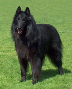 Belgian sheepdog. One of these was at the rescue and i completely fell in love with her.