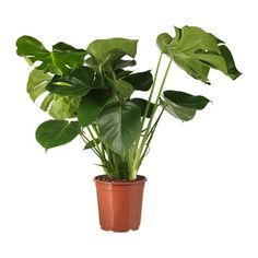 IKEA | MONSTERA Potted plant, Swiss cheese plant - 24cm