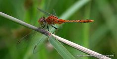 red dragonfly Insects, Red, Photography, Animals, Photograph, Animales, Animaux, Fotografie, Photoshoot