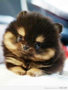 Baby pomeranian...looks like a little ewok