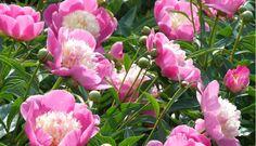 Assortiment vaste planten(A) Paeonia lactiflora 'Wladyslawa'.jpg (600×345)