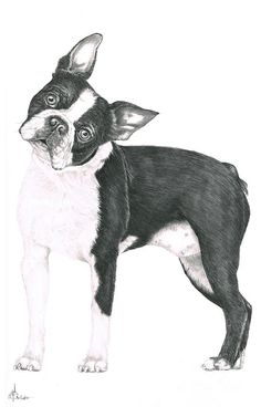 Boston Terrier Drawing  - Boston Terrier Fine Art Print