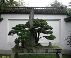The Japanese are more passionate about their bonsai, but the Chinese are certainly no slouches.