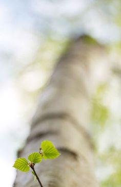 New-sprung birch, Sweden