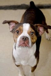 Been in the shelter for half his life. =( Shadow is an adoptable Boston Terrier Dog in Murphysboro, IL. Hi everyone, I'm Shadow. I am a male neutered Boston Terrier mix. I am brown with white, approximately 2 years old. I am a rambunctious yo...