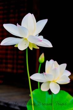 Lotus Flowers at the Hōkongō-in Temple in Kyoto-City, Japan. White lotus flower in front of the Hondo of Hōkongō-in Temple in Kyoto-City, Japan. White Lotus Flower, Pink Lotus, Lotus Flowers, Yoga Online, Kyoto, Japan, Bloom, Symbols, Pure Products