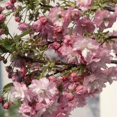 Buy dwarf Japanese flowering cherry Prunus Little Pink Perfection - A profusion of double pink flowers in spring: 10 lt pot Delivery by Crocus Small Trees For Garden, Garden Trees, Trees To Plant, Garden Compost, Gardening, Prunus, Garden Care, Planting Seeds, Green Leaves