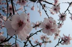 Almond blossoms, Mandelblüte Almond Blossom, Happy Spring, Long Winter, Trees, Plants, Flowers, Kunst, Tree Structure, Plant