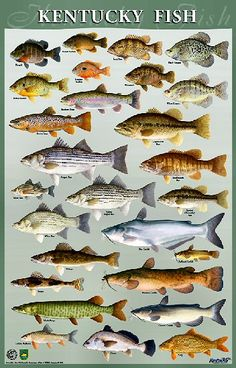 Freshwater fish chart posters pf the great lakes 20 for Fly fishing kentucky