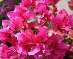 Pink Bougainvillea: March - September  $$ Hot Pink Flowers, Bougainvillea, Types Of Flowers, Spring Colors, Spring Time, Flower Power, Lush, Wedding Flowers, Colours