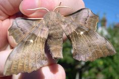 Common Hawk-moth Laothoe populi 7 - 10 cm Palearctic: Europe, Russia, Norther Asia, etc.