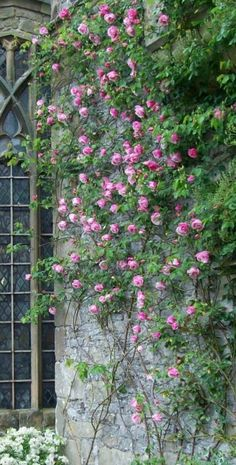 Climbing roses look fantastic against a beautiful stone wall.