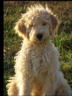 goldendoodle...we want one!