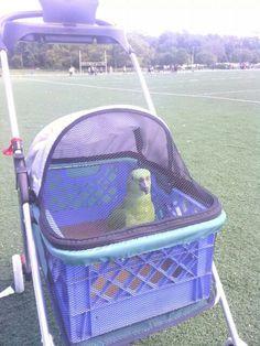 Pet Bird Stuff... Small pet stroller made for a parrot