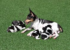 Toy Fox Terrier Puppies – Envoy…dogs and puppies Toy Fox Terrier Puppies, Perro Fox Terrier, Rat Terriers, Baby Animals, Cute Animals, Smooth Fox Terriers, The Fox And The Hound, Mans Best Friend, Bob Hairstyles