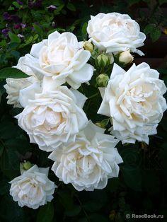 Beautiful Flowers, Most Beautiful, Rose Bush, White Gardens, Juni, White Roses, Plank, Natural, Bonito