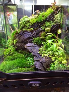 Best Pictures Reptile Terrarium setup Style There is no doubt that will using a .Best Pictures Reptile Terrarium setup Style There is no doubt that will using a puppy can bring untold pleasure in order to another person's life. Tropical Terrariums, Terrariums Diy, Gecko Terrarium, Terrarium Reptile, Aquarium Terrarium, Moss Terrarium, Terrarium Plants, Gecko Vivarium, Terrarium Tank