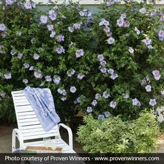 Add a unique color to your summer landscape by choosing this Proven Winners Azurri Blue Satin Rose of Sharon Live Shrub in Blue Flowers. Purple Plants, White Plants, Purple Roses, Blue Flowers, Summer Garden, Home And Garden, Limelight Hydrangea, Easy Care Plants, Foundation Planting