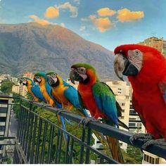 Wild Macaws Often Perch in Residential Balconies in Caracas Venezuela Sierra Nevada, Beautiful Birds, Beautiful Places, Places To Travel, Places To Go, Greek Islands, South America, Twitter, Coast
