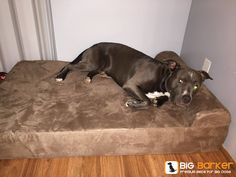 Blue Pit Bull on a Big Barker dog bed | get one at http://bigbarker.com