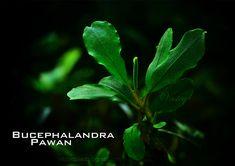 Bucephalandra pawan
