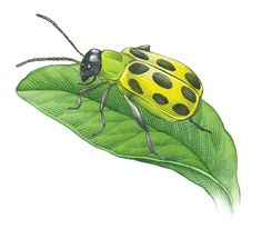 (remember to grow radish, nasturtium, tansy to repel these guys) Cucumber Beetle Control Prevents the Spread of Powdery Mildew - Organic Gardening - MOTHER EARTH NEWS Slugs In Garden, Garden Pests, Garden Insects, Cucumber Beetles, Japanese Beetles, Powdery Mildew, Mother Earth News, Organic Gardening Tips, Vegetable Gardening