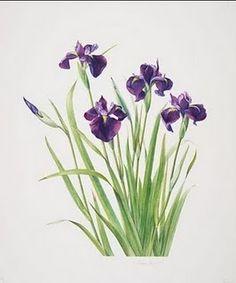 watercolor japanese iris   Japanese irises.