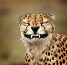 One of the greatest threats to the cheetah in the wild is human-wildlife conflict. Over 90 percent of cheetahs live outside protected… Smiling Animals, Animals And Pets, Baby Animals, Nature Animals, Cute Funny Animals, Funny Animal Pictures, Funny Cats, Cheetah Pictures, Funny Tiger